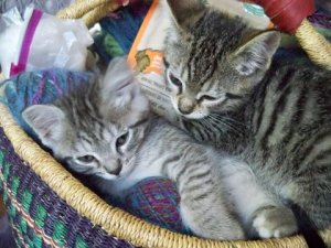 basket cats 1